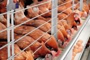 Uzbekistan to export eggs to Afghanistan